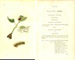 EDWARD DONOVAN, THE NATURAL HISTORY OF BRITISH INSECTS, VOL. 5, TAVOLA 163, 1796, PHALAENA DISPAR Original Hand-Colored - Livres Anciens