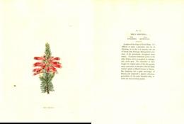 GEORGE COOKE, BOTANICAL CABINET, VOL. 1, TAVOLA 86, 1827, ERICA SANGUINEA Original Hand-Colored Lithograph - Libri Antichi