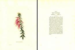 GEORGE COOKE, BOTANICAL CABINET, VOL. 1, TAVOLA 21, 1827, EPACRIS GRANDIFLORA Original Hand-Colored Lithograph - Old Books