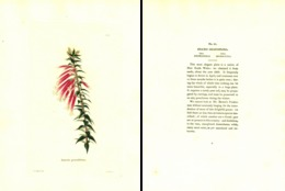 GEORGE COOKE, BOTANICAL CABINET, VOL. 1, TAVOLA 21, 1827, EPACRIS GRANDIFLORA Original Hand-Colored Lithograph - Livres Anciens
