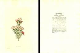 GEORGE COOKE, BOTANICAL CABINET, VOL. 2, TAVOLA 114, 1827, ERICA MUNDULA Original Hand-Colored Lithograph - Old Books