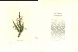 GEORGE COOKE, BOTANICAL CABINET, VOL. 1, TAVOLA 3, 1817, ERICA LAMBERTIANA - Old Books