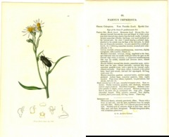 JOHN CURTIS, BRITISH ENTOMOLOGY, TAVOLA 80, 1825, PARNUS IMPRESSUS Original Hand-Colored Lithograph - Libri Antichi