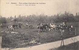 RENNES      ECOLE PRATIQUE D AGRICULTURE DES TROIS CROIX.    LES VACHES AU VERGER - Rennes