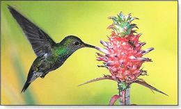 Guyane - Amazilia Spp - Colibri - Guyane