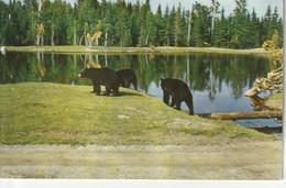 Ours Noir, Sentiers De La Nature, Zoo De St-Felicien, Lac St-Jean, Quebec  Marques D'eau - Quebec