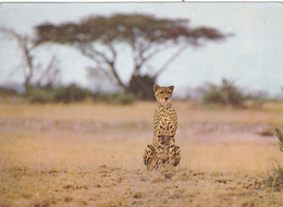 KENYA,afrique Est,prés Du Soudan,AMBOSELI,PARK,CHEETAH,GUEPARD - Kenya