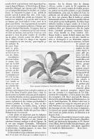 L'OUVIRANDRA  FENESTRALIS   1894 - A. Plantes Vertes