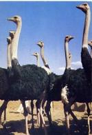 Periple En Afrique Australe - Afrique Du Sud Ouste - Autruches - Formato Grande Viaggiata – E 7 - Cartoline
