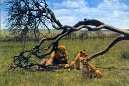 Keekorok Lodge - Pride Of Lions At Masai Mara Game Reserve - Formato Grande Viaggiata Mancante Di Affrancatura – E 7 - Cartoline