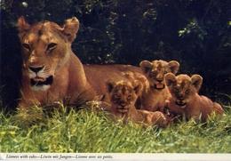 Lioness With Cubs - Formato Grande Viaggiata – E 7 - Nigeria