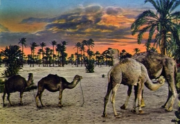 Tripoli - Camelli - Formato Grande Non Viaggiata – E 7 - Cartoline