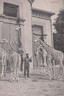 Jardin Zoologique D'Anvers - Girafes - Antwerpen