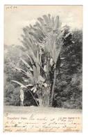 TRINIDAD - Travellers' Palm, Pionnière - Trinidad