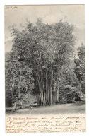 TRINIDAD - The Giant Bamboos, Pionnière - Trinidad