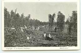 TONBRIDGE - Hop-Picking - Travail Du Houblon? - England