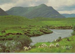 CPM Irlande, Mayo, (montagne, Moutons) - Mayo