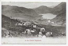 In The Central Highlands - Sheep - Hartmann - Scotland