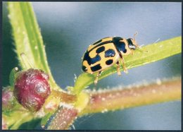 14-spotted Ladybird, Propylea Quatuordecimpunctata, Coccinelle à Damier, Vierzehnpunkt-Marienkäfer, Mariquita - Insectos