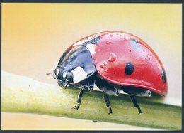 Mariquita Siete Puntos, Coccinella Septempunctata, Seven-spot Ladybird, Coccinelle Sept Points, Siebenpunkt-Marienkäfer - Insectos