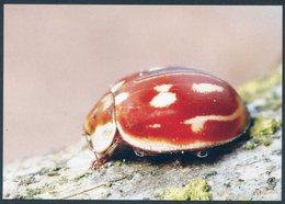 Myzia Oblongoguttata, Striped Ladybird, Längsfleckige Marienkäfer, Mariquita - Insectos