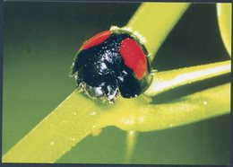 Chilocorus Bipustulatus, Heather Ladybird, Strichfleckige Marienkäfer, Coccinelle, Mariquita - Insectos