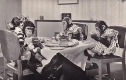 Postcard Brooke Bond's Famous Tea Party Advertisement Anthropomorphic Chimpanzee / Monkey RP My Ref  B12407 - Monkeys