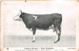 ESPECE BOVINES- RACE COMTOISE- VACHE PIE ROUGE - RENDEMENT DE LAIT 1.500 A 1.880 LITRE 1m30 - 3 ANS - Vaches