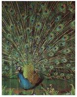(800) 3-D  Peacock Bird - Carte De Paon En 3 Dimension - Oiseaux