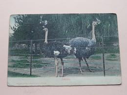 OSTRICHES ( Sallo Epstein & C° Durban ) Anno 190? > Cape Town ( Zie/see/voir Photo ) ! - Afrique Du Sud