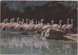 CPM - PARC ZOO DE THOIRY EN YVELINES - GROUPE DE FLAMANTS - Edition Combier - Other