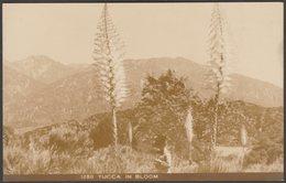 Yucca In Bloom, C.1910s - AZO RPPC - Flowers