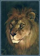 • CPM - ZOO DU TERTRE ROUGE à LA FLÈCHE  (Jacques Bouillault) - LION - Lions