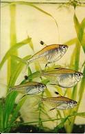 Herbert R. Axelrod  -  Tropical Fish : Featherfin Tetras - Pesci E Crostacei