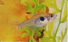 Herbert R. Axelrod  -  Tropical Fish : The Swegles Tetra With Its Distinctive Shoulder Spot. - Pesci E Crostacei