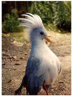 (ORL 1010) Cagou  - New Caledonia Bird (with Stamp) - Vögel