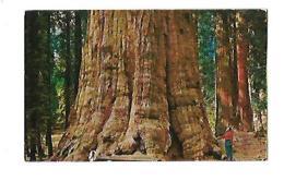 OLDEST LIVING THING BASE OF GENERAL SHERMAN TREE .... - Etats-Unis