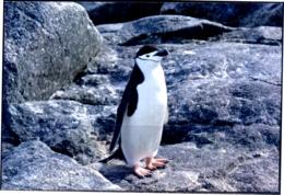 BIRDS- PENGUINS #3 - ARCTIC LIFE - PICTURE POST CARD - CHINA- MNH-MC73 - Vögel