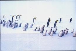 BIRDS- PENGUINS #9 - ARCTIC LIFE - PICTURE POST CARD - CHINA- MNH-MC73 - Vögel