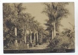 Estado De MORELOS - Plantas De Palmas - Foto A. Briquet 1897 - N° 101 - Fotos