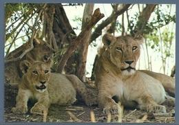 CPM - LIONNE ET SES FILS - Lions