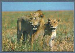 CPM - COUPLE DE LIONS - Lions