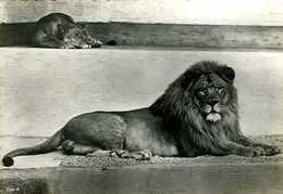 Couple De Lions - Lions