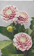 """AK 0028  Pompon- Oder Liliput-Dhalia """" Perlhuhn """" - Naturfarben Photo Um 1920 - Blumen"""
