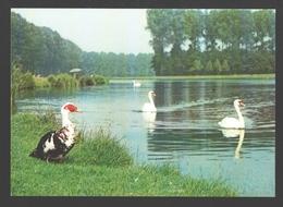 Wachtebeke - Provinciaal Domein Puyenbroeck - Zwaan / Cygne / Swan - Barbariet / Barbarie Eend - Wachtebeke