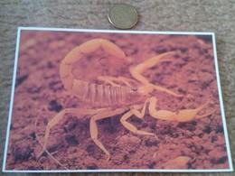 POSTAL CARTE POSTALE POST CARD ESCORPIÓN USA ESTADOS UNIDOS PETLEY PHOTO WILLIS PETERSON GIANT HAIRY SCORPION ANIMALS VE - Animales