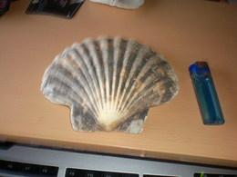 Shells Big - Coquillages