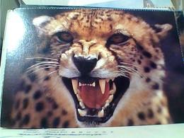 GHEPARDO CHEETHAH ACINONYX JUBATUS   SUD AFRICA     N1990 GU3461 - Leoni