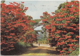 TRANSVAAL, Poinsettias Flowering At Tzaneen, Northern Transvaal, South Africa , 1974 Used Postcard [21837] - Afrique Du Sud
