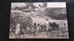 CPA Martinique  - Récolte De La Canne à Sucre - Autres
